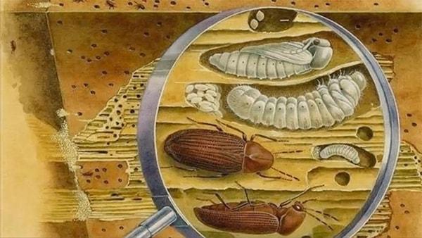 Вред от жука-точильщика