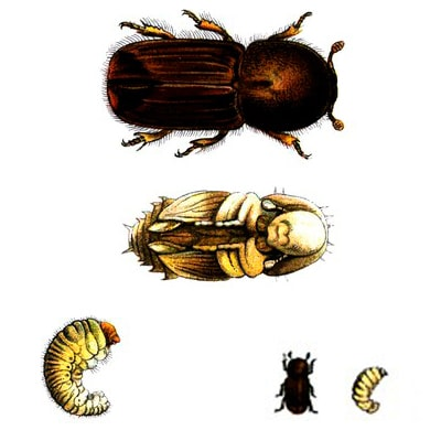 Питание жука-короеда