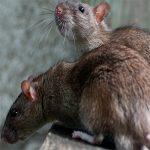Борьба с крысами результативными методами
