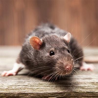 Борьба с крысами в домашних условиях народные средства