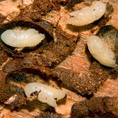 личинки жука короеда