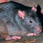 Как избавиться от крыс какие есть способы