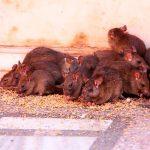 Отрава для крыс и её эффективность