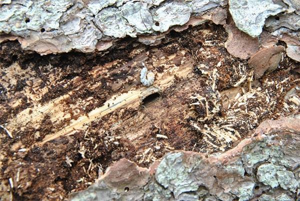 Как жуки короеды выбирают древесину