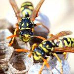 Где зимуют осы куда же они исчезают осенью