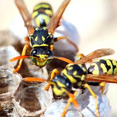 Где зимуют осы