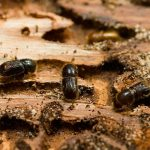 Жук-короед в саду: эффективные методы борьбы