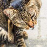 Если ваш питомец чешется, то как избавиться от блох у кошки