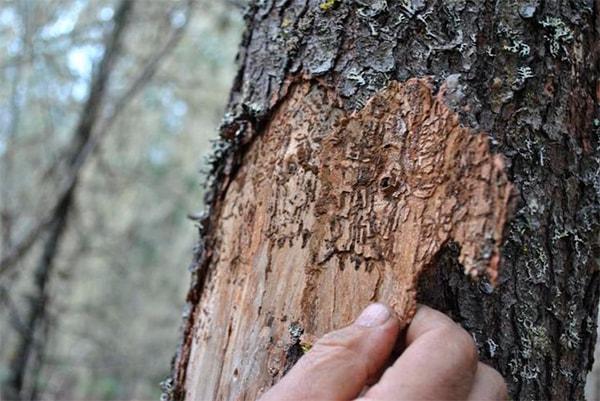 Кора деревьев от жука короеда