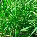 Пырей ползучий сорняк или трава приносящая пользу