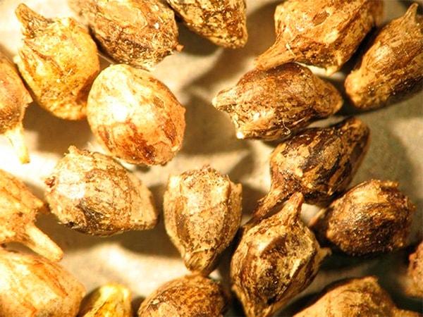 семена амброзии