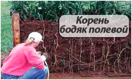 корень бодяк полевой