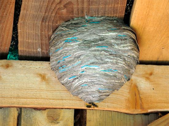 шершни гнездо