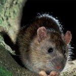 Болезни переносимые мышами и их опасность для человека