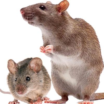 Как отличить мышей от крыс