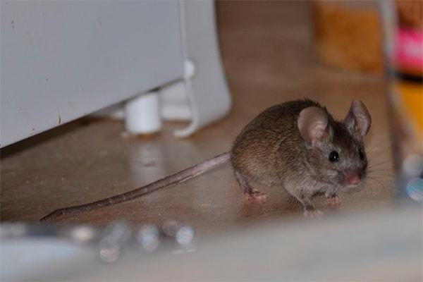 Места обитания крыс и мышей