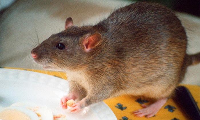 Отличие в питании крыс