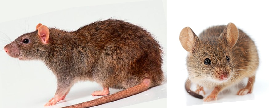 основные признаки крыс и мышей