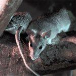 Чем опасны крысы и почему стоит с ними боротся