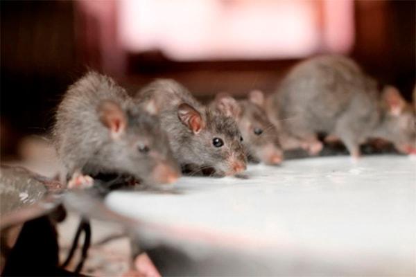 крысы сильный голод