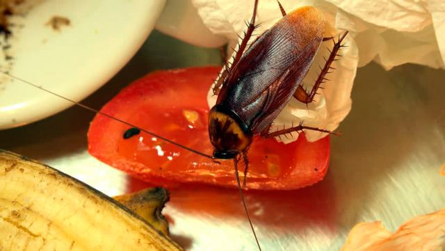 тараканы опасность