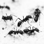 Черные муравьи в квартире как избавиться