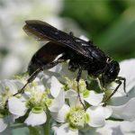 Черные осы, описание и отличие данного вида