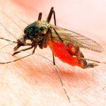 Малярийный комар. Особенности строения тела. Отличительные черты и  опасность.