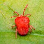 Чем опасен красный клещ? Лечение и профилактика заболеваний.