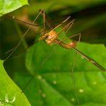 Самые большие комары. Особенности строения тела и жизнедеятельности.  Степень опасности для человека.