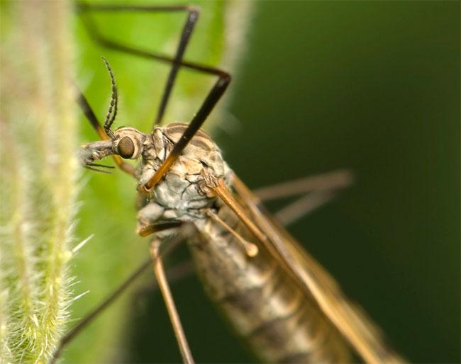 фото большого комара