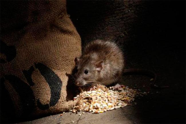 мышь ест зерно