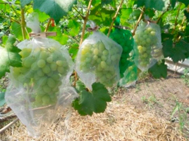 Сетка, позволяющая уберечь виноград
