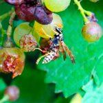 Как уберечь виноград от ос: обзор рабочих способов