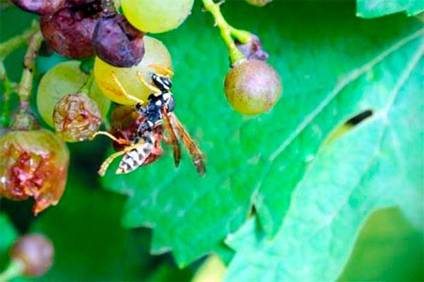 уберечь виноград от ос